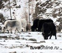 Глава Тувы поручил руководству Минсельхоза держать на контроле зимовку скота в Монгун-Тайге