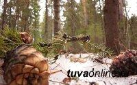 В Улуг-Хемском кожууне Тувы от полученных при падении с дерева травм умер мужчина, собиравший кедровые орехи