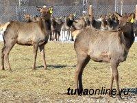 Тувинское мараловодческое хозяйство получило статус генофондного хозяйства