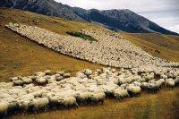 За бесконтрольный выпас скота в принятых Правилах содержания сельхозживотных предусмотрена ответственность