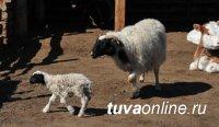 Массовый окот мелкого рогатого скота завершен почти во всех районах Тувы