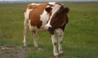 89 семей Тувы получили буренок с телятами в рамках губернаторского проекта «Корова-кормилица»