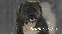 Житель Тувы серьезно пострадал от собственной собаки породы «алабай»