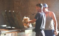 В племенном хозяйстве «Бай-Холь» в Эрзинском районе Тувы приступили к заготовке кормов и подготовке шерсти на продажу