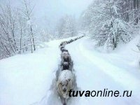 В животноводческих западных кожуунах Тувы идет борьба с высоким снежным покровом