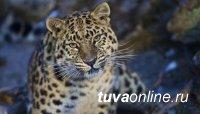 WWF России начал международный проект по сохранению редких кошачьих
