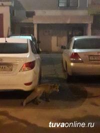 В южном микрорайоне Кызыла горожане заметили лису