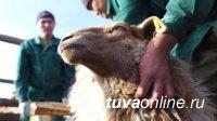 В Барун-Хемчикском районе Тувы начало работу предприятие «Племсервис»