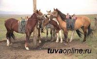 В Туве проводят генетическое исследование лошадей местной породы