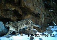 Снежные барсы Звезда, Менги и Тайга стали героями скрытой фотосъемки в природном парке «Тыва»