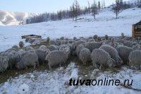 В целом по Туве зимовка скота проходит без осложнений