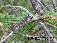 В лесах Тувы увеличилась площадь очагов вредителей - большого черного усача и сибирского шелкопряда