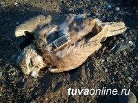 Сокол балобан, призванный восстановить популяцию на Алтае и в Туве, погиб от голода в Китае