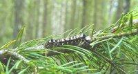 Обнаружены новые очаги размножения сибирского шелкопряда в Чаданском и Шагонарском лесничествах