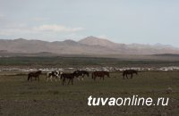 Тува: Скотокрады, угнавшие лошадей из Монголии, приговорены к лишению свободы