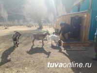 В Туве начали разводить высокомолочных альпийских коз