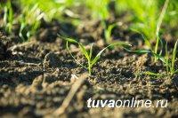 В хозяйствах Тувы завершили посев зерновых культур