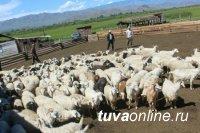 В Туве передали скот 105-ти участникам третьего этапа губернаторского проекта «Кыштаг для молодой семьи»