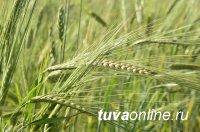 В Туве урожайность зерновых в два раза превышает прошлогоднюю
