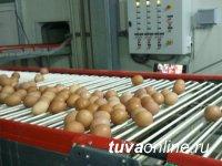 В Туве производство куриных яиц выросло за год в 4,8 раза