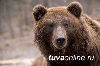 В Туве участились случаи выхода медведей к чабанским стоянкам