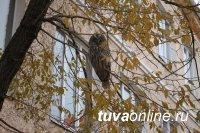 В Кызыле на территории Тувинского госуниверситета поселилась сова-неясыть