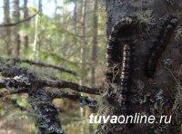 В текущем году удалось затушить очаг сибирского шелкопряда в Шагонарском лесничестве (Тува)