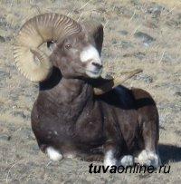 Россия и Монголия утвердили Программу мониторинга алтайского горного барана (аргали) в трансграничной зоне двух стран
