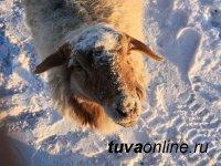 Зимовка скота в Туве началась в штатном режиме – Минсельхозпрод