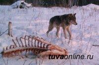 В Туве борются с волками. С начала года добыто 285 серых хищников