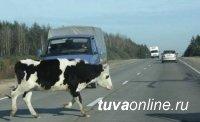 В Туве зарегистрировано 48 случаев наезда на сельхозживотных