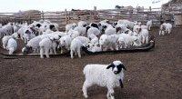 В животноводческих хозяйствах Тувы продолжается расплодная кампания