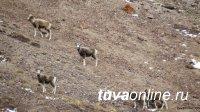 Началась весенняя миграция аргали из Монголии в Туву