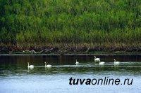 """Тува: На протоке Енисея увидели """"краснокнижных""""  лебедей-кликунов"""