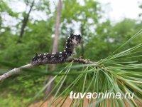 В лесах Тувы площадь очагов сибирского шелкопряда осталась без изменений, непарного шелкопряда - сократилась