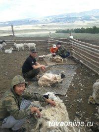 В хозяйствах Тувы идет сезонная стрижка овец и коз