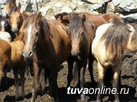 В Туве вынесен обвинительный приговор троим местным жителям, пытавшимся украсть 8 голов лошадей