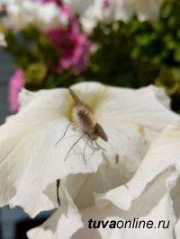 На территории Тувы обнаружен редкий вид мухи Жужжало малый