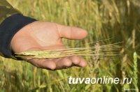 В Туве 15 октября планируют завершить уборку зерновых
