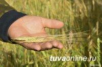 В Туве в этом году средняя урожайность зерновых превышает 15 ц/га (в прошлом году - 14,3)