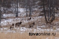 Минприроды Тувы уточняет сроки осенней охоты на разных зверей