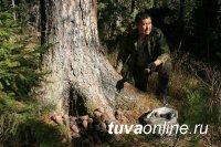 В Туве с 2020 года кедровый сезон будут открывать первого сентября