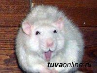Малоизвестные факты о крысе – символе наступившего года