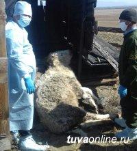 В Туве устанавливают личности владельцев падшего скота, выбросивших трупы животных вместо того, чтобы их утилизовать