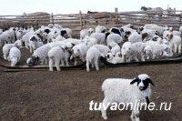 Предварительные итоги окотной кампании в Туве считаются успешными – минсельхозпрод республики