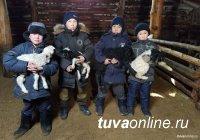 В Туве в ходе завершившейся окотной кампании получили более полумиллиона ягнят и козлят
