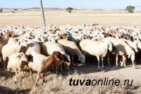 В Туве хозяину вернули заблудившихся овец