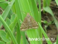 Сельхозпроизводителей Тувы предупреждают о нашествии лугового мотылька