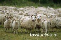 В Туве раскрыли разбойное нападение с похищением 220 овец