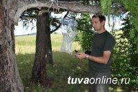 В Туве проанализировали результаты по 21 феромонной ловушке на сибирского шелкопряда